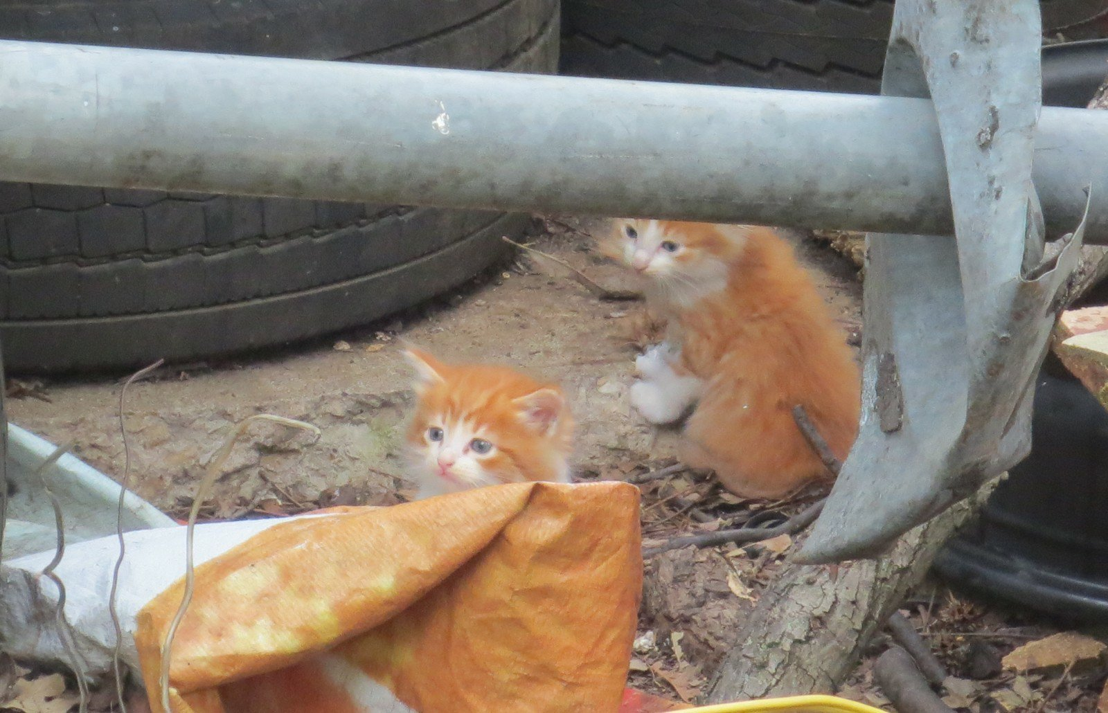 Orange Kitten Cats